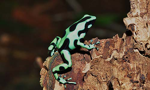 Green and Black Poison Dart Frog | Stone Zoo