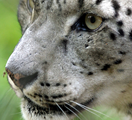 Snowleopardfeature
