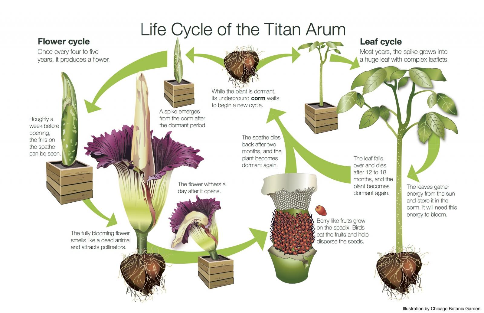 Giant Corpse Flower Fester Expected To Bloom