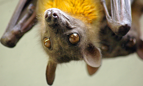 Image result for straw colored fruit bat