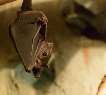 lima fruit fruit bat