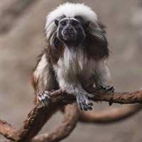 Cottontoptamarin Box