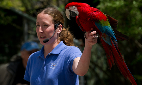 Greenwinged Macaw Gallery