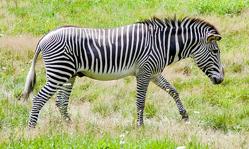 grevy s zebra franklin park zoo