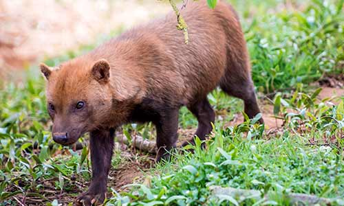 Bush Dog Stone Zoo