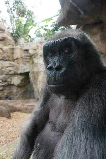 Gorilla to undergo a follow-up exam at Franklin Park Zoo