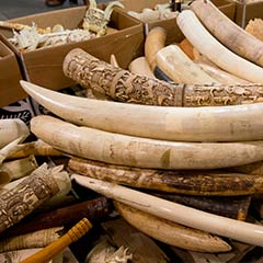 96Elephants Tusks