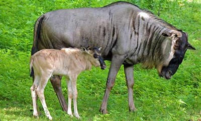 Wildebeestbaby Gallery