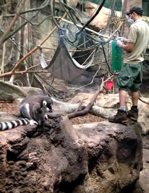 Lemur and keeper