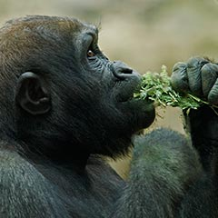 Gorilla Eating Box
