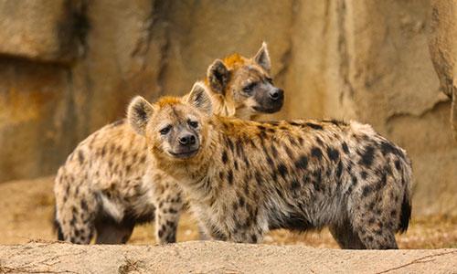 Spotted Hyena | Franklin Park Zoo