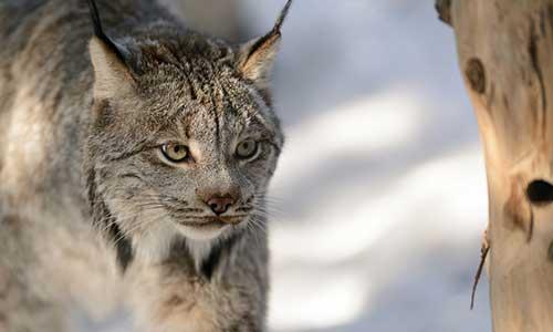 canada lynx stone zoo
