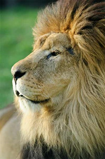 Lionchristopher2