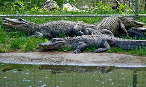About The American Alligator