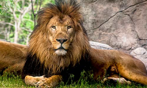 African Lion | Franklin Park Zoo