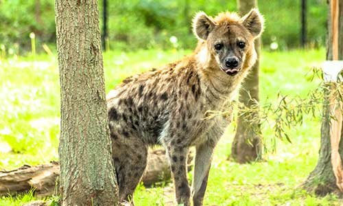 Spotted Hyena Franklin Park Zoo