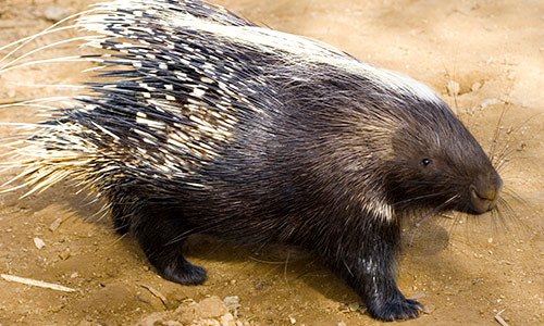 Africancrested Porcupine Gallery2