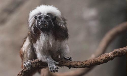 Cotton Top Tamarin Stone Zoo