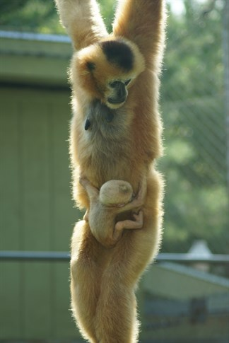 White-Cheeked Gibbon Baby at Stone Zoo