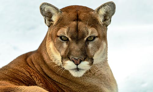 puma cougar