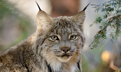 Lynx.De