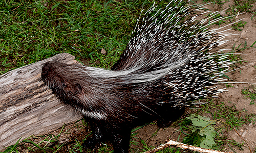 Africancrested Porcupine Gallery