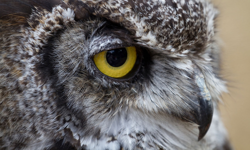 Greathornedowl Gallery