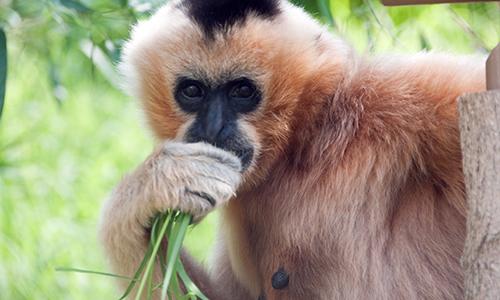 White Cheeked Gibbon Stone Zoo