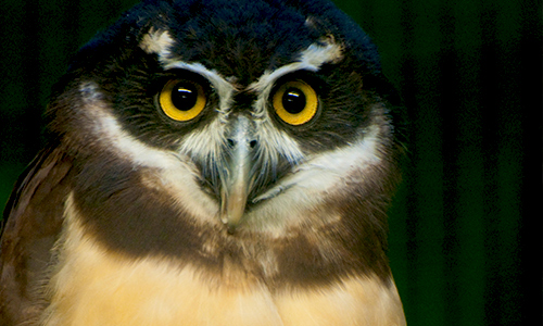 Spectacledowl Gallery