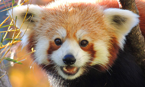 Red Panda | Franklin Park Zoo Raccoon Face