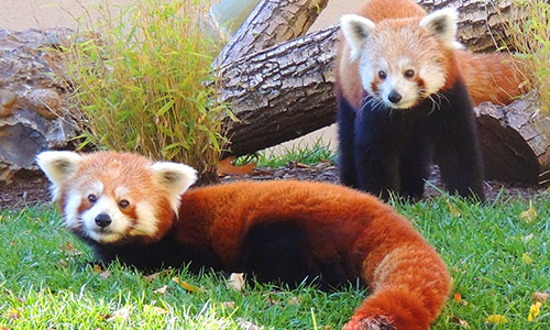 Red Panda | Franklin Park Zoo